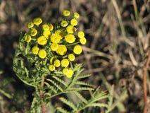 Kleine gelbe wilde Blumen Stockfotografie