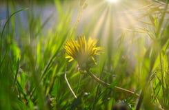 Kleine gele bloem van het jonge paardebloem verbergen in gras in April met gloed op achtergrond stock foto
