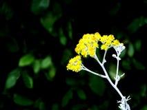 Kleine gele bloemen in de stralen van licht Stock Afbeeldingen