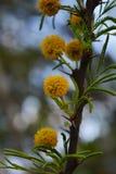 Kleine gele bloemen gelijkend op diente DE leon stock foto