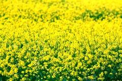 Kleine gele bloemen op een gebied Royalty-vrije Stock Foto's