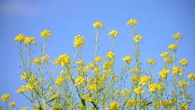 Kleine gele bloemen tegen de blauwe duidelijke hemel stock videobeelden