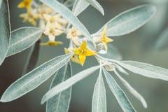 Kleine gele bloemen van tot bloei komende duindoorn royalty-vrije stock foto