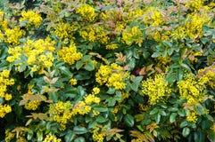 Kleine gele bloemenmahonia Stock Afbeeldingen
