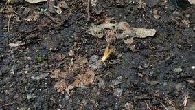 Kleine gele die mot op de de herfstgrond is geland stock video