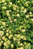 Kleine gele ixora op het gebied Royalty-vrije Stock Foto