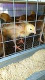 Kleine gele kuikens in een metaalkooi stock afbeelding