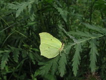 Kleine gele vlinder Royalty-vrije Stock Afbeeldingen