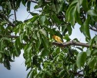Kleine gele vogelmannetje op oranje-Uitgezien Gele Vink in een boom - Cali, Colombia Stock Fotografie
