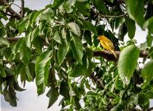 Kleine gele vogelmannetje op oranje-Uitgezien Gele Vink in een boom - Cali, Colombia Stock Foto's