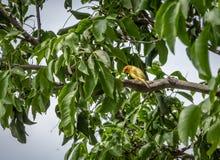 Kleine gele vogelmannetje op oranje-Uitgezien Gele Vink in een boom - Cali, Colombia Royalty-vrije Stock Foto's