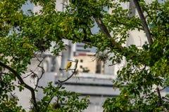 Kleine gele vogelmannetje op oranje-Uitgezien Gele Vink in een boom die aan de stad kijken - Cali, Colombia Stock Afbeeldingen