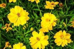 Kleine gele zonnebloem Stock Afbeeldingen