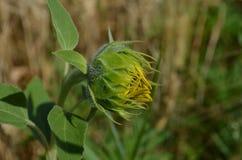 Kleine gele Zonnebloem in de foto van het gebiedsclose-up Royalty-vrije Stock Afbeelding