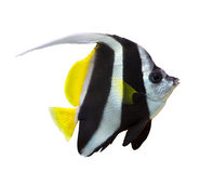 Kleine gestreepte die vissen op wit worden geïsoleerd Royalty-vrije Stock Fotografie