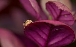 Kleine gestreifte springende Spinne stockfotografie