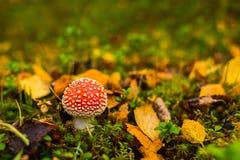 Kleine giftige schoonheid stock fotografie