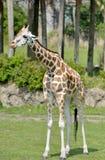 Kleine Giraf royalty-vrije stock fotografie