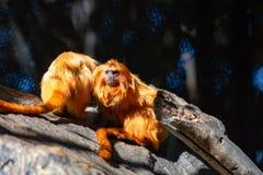 Kleine Gouden Lion Tamarin-aap stock afbeelding