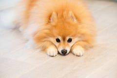 Kleine gouden pomeranian die puppyhond in de wapens van zijn meester wordt gehouden royalty-vrije stock foto