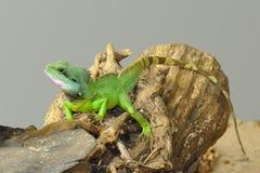 Kleine grüne Eidechse auf einem Protokoll 2 Stockfotos
