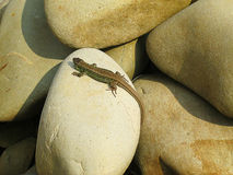 Kleine grüne Eidechse, die auf Felsen kriecht und in der Sonne sich aalt Stockfotos