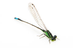 Kleine grüne Libelle Stockbild