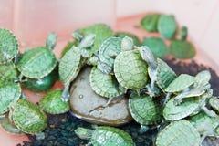 Kleine grüne Schildkröte Stockfoto