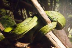 Kleine grüne Schlange auf einem Baum Stockbilder