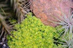 Kleine Grünpflanze und Felsen verzieren aus den Grund im Houseplant Lizenzfreie Stockbilder