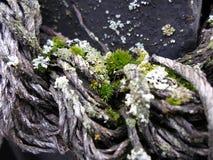 Kleine Grünpflanzen wachsen von einem alten Seil Stockfotografie