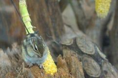 Kleine grappige aardeekhoorns en maïskolf Royalty-vrije Stock Afbeeldingen