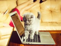 Kleine grappige Katjes grijze kleur op laptop Computer royalty-vrije stock afbeelding