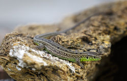 Kleine grau-grüne Eidechse aalt sich auf dem Stein Stockbilder