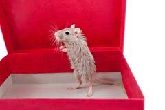 Kleine graue Maus in einem Kasten Meriones unguiculatus Stockfoto
