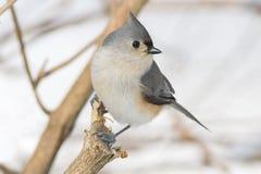 Kleine grijze Doorgenaaide die meesvogel op een boomtak wordt neergestreken Royalty-vrije Stock Foto