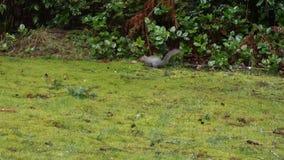 Kleine grijze eekhoornlooppas over groen gras en natte bladeren op regenachtige dag stock footage