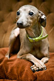 Kleine grijze hond stock fotografie