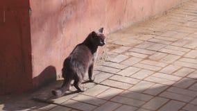 Kleine grijze kat op de stoep op het voetpad, eenzaam leuk huisdier in de straat stock footage