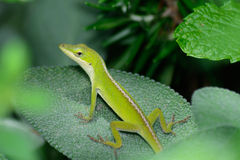 Kleine Groene Anole (Anolis-carolinensis) horizontaal op een wijs blad stock foto's