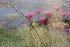 Kleine Groene Bijeneter Stock Foto's
