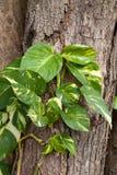 Kleine groene bomen die op het oude hout groeien Stock Afbeelding