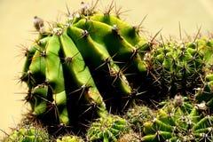 Kleine groene cactus met grote scherpe naalden stock afbeeldingen