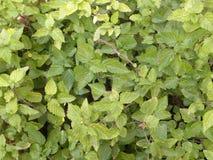 Kleine groene en gele kleurenbladeren van Urticaceae-installatie Royalty-vrije Stock Afbeeldingen