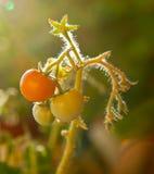 Kleine groene en oranje tomatenkers op een tak Royalty-vrije Stock Afbeeldingen
