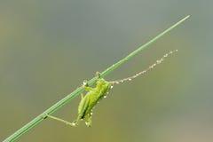 Kleine groene katydid Stock Afbeeldingen