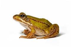 Kleine groene kikker Stock Foto