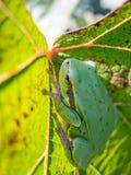 Kleine groene kikker op een wijnstokblad Royalty-vrije Stock Foto