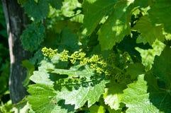 Kleine groene proseccobossen in Italië dichtbij valdobbiadene royalty-vrije stock foto