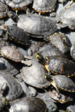Kleine groene schildpadden Royalty-vrije Stock Afbeelding